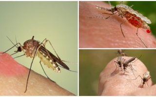 De ce țânțarii beau sânge