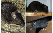 Șobolani negri