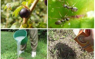Cum să ne ocupăm de furnici și afide la coacăze