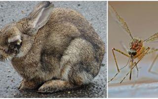 Cum de a salva iepurii de la țânțari pe stradă și în rabbit