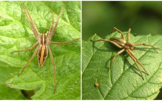 Descriere și fotografii ale păianjenilor din regiunea Saratov