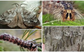 Descrierea și fotografia unei omizi și fluture de viermi de mătase din Siberia
