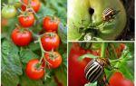 Cum se procesează roșiile din gândacul de cartof Colorado