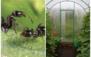 Cum să se ocupe de furnici în remedii folk de seră