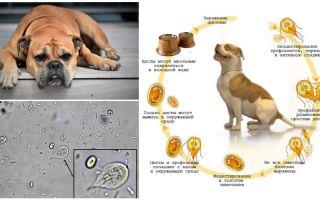 Simptomele și tratamentul giardiei la câini