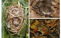 Șoareci de pădure