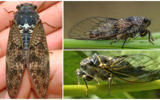 Descriere și fotografii ale muștelor de cicada