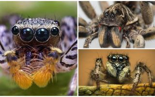 Câți ochi are un păianjen?