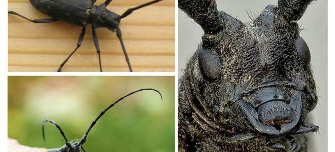 Mare și mic miez negru molid