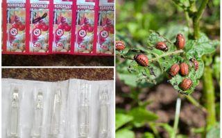 Colorado remediu pentru gândac de cartof colorado