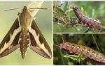 Descrierea și fotografia caterpillarului de șopârlă de șopârlă