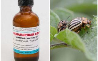 Amoniacul împotriva gândacului de cartof Colorado