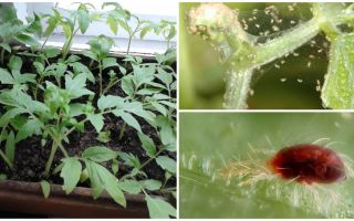 Metode de tratare a acarienilor de păianjen pe răsaduri