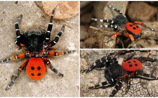 Descriere și fotografii de păianjeni în Crimeea