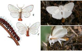 Descriere și fotografie de fluture și ospitalieri