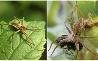 Câți păianjeni obișnuiți trăiesc într-un apartament și în natură
