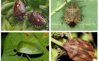 Grădinari bug