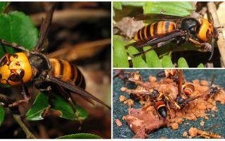 Hornets de mare: garnizoana asiatice și negru Hornets