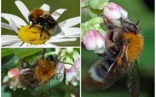 Descrierea și fotografia orașului bumblebee