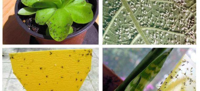 Cum să faci cu muște în ghivece de flori