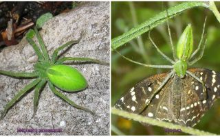 Green Spiders în Rusia