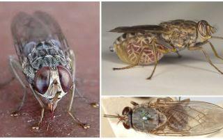 Descrierea și fotografia tsetse fly