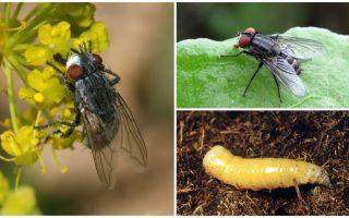 Descrierea și fotografia unei muște de carne (muritoare)
