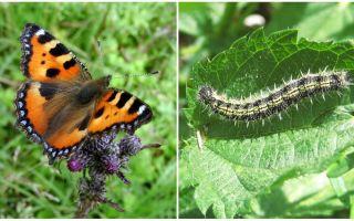 Nettle caterpillars - Negru de gazon pe urzica