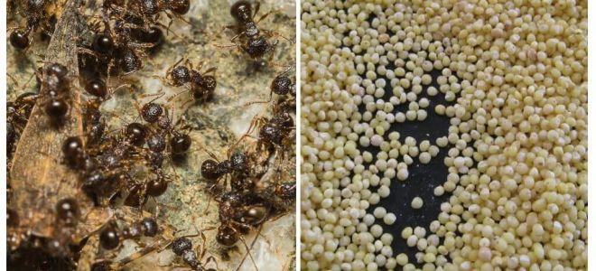 Mei împotriva furnicilor din țară
