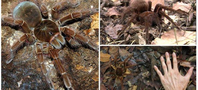Descrierea și fotografia păianjenului de pasăre goliat