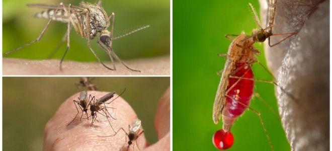 Persoanele cu care grupul de sânge este cel mai adesea mușcat de țânțari