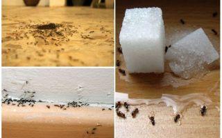 Cum să elimini furnicile dintr-un apartament acasă