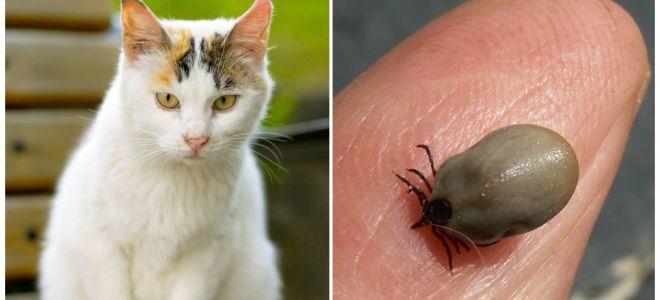 Ce să faci dacă o pisică este mușcată de o bifă