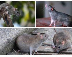 Câți ani au trăit șobolani