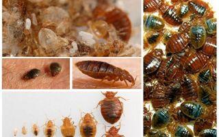 Ce și cum să procesăm hainele și lucrurile de pe albinele de ploaie