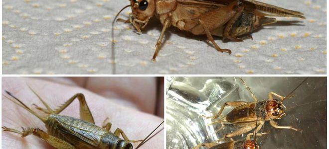 Descriere și fotografii de cricket de banane