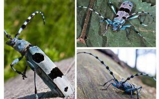 Gândacul gândacului alpin
