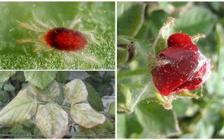 Cum să procesați un trandafir din acarianul spider