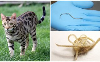 Simptomele și tratamentul ascariozelor la pisici