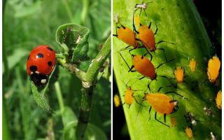 Ladybug și afidă