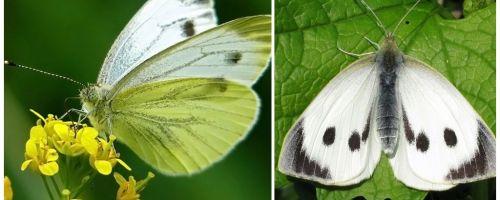 Descriere și fotografii ale omizi și fluturi de varză