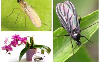 Ce trebuie să faceți în cazul în care midges sunt crescute în orhidee