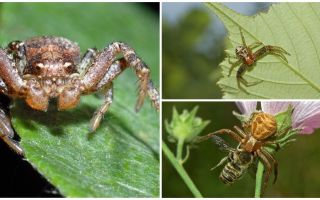 Descrierea și fotografia păianjenului de crab (non-izometric bokhoda)