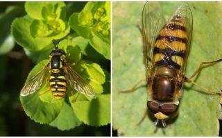 Descrierea și fotografia unei muște dungate asemănătoare unei viespe