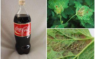 Coca-Cola din păduche