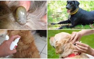 Cele mai bune medicamente pentru câini de la căpușe și purici
