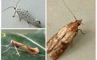 De ce molia nu are proboscis