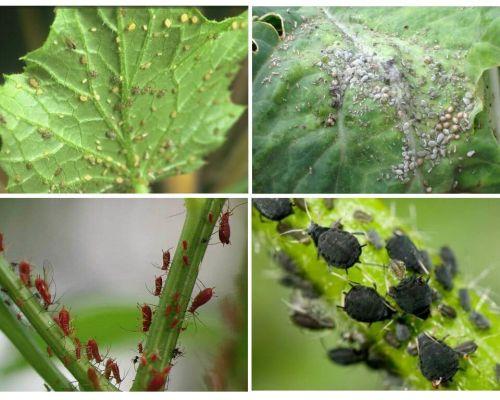 Cum să se ocupe de afide în grădină și în grădina remediilor populare