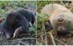 Care este diferența dintre un mol și un șobolan mol?