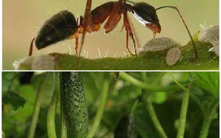 Cum să se ocupe de furnici în grădină cu castraveți